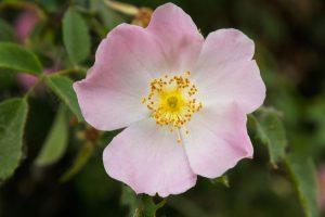 Huile de rose musquée contre les vergetures