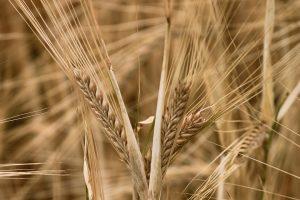 L'huile végétale de germe de blé est efficace contre les vergetures de grossesse.